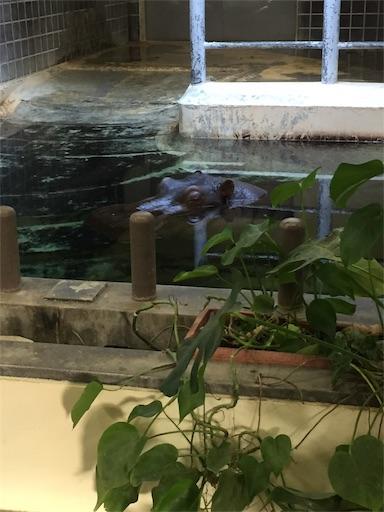 上野動物園のカバ