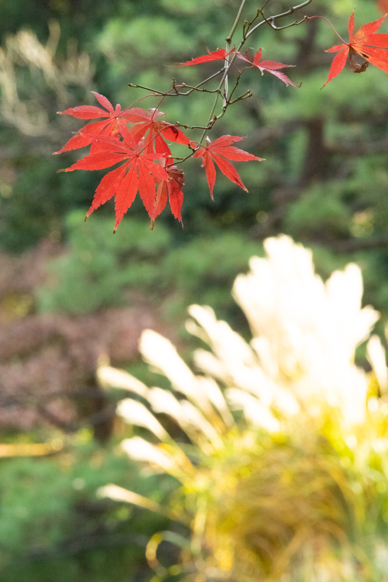 紅葉とススキ