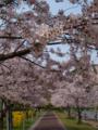 [OLYMPUS][E-420][25mm]桜(志免町)