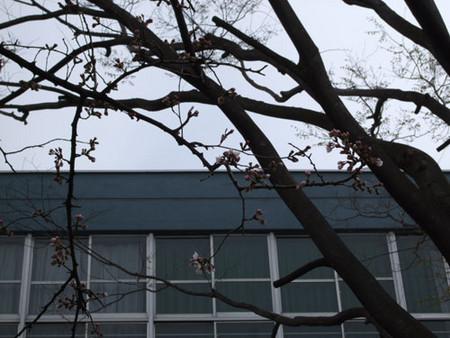 桜前線通過のお知らせ
