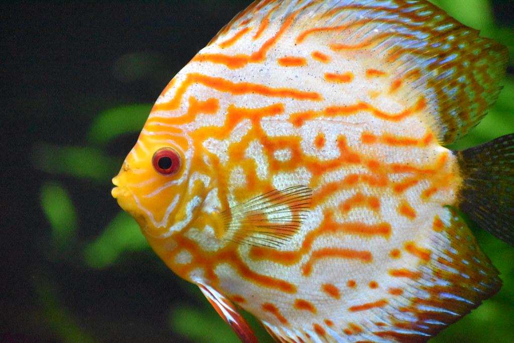 f:id:freshwaterfish:20190829151242j:plain