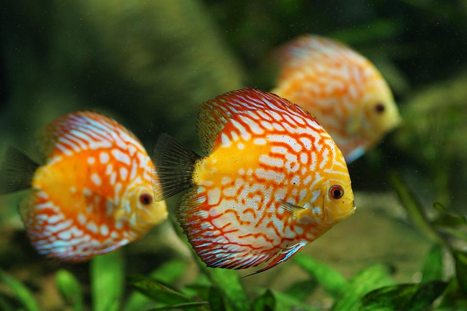 f:id:freshwaterfish:20190903130819j:plain