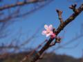 [植物][Prunus][桜]河津桜@朝比奈川