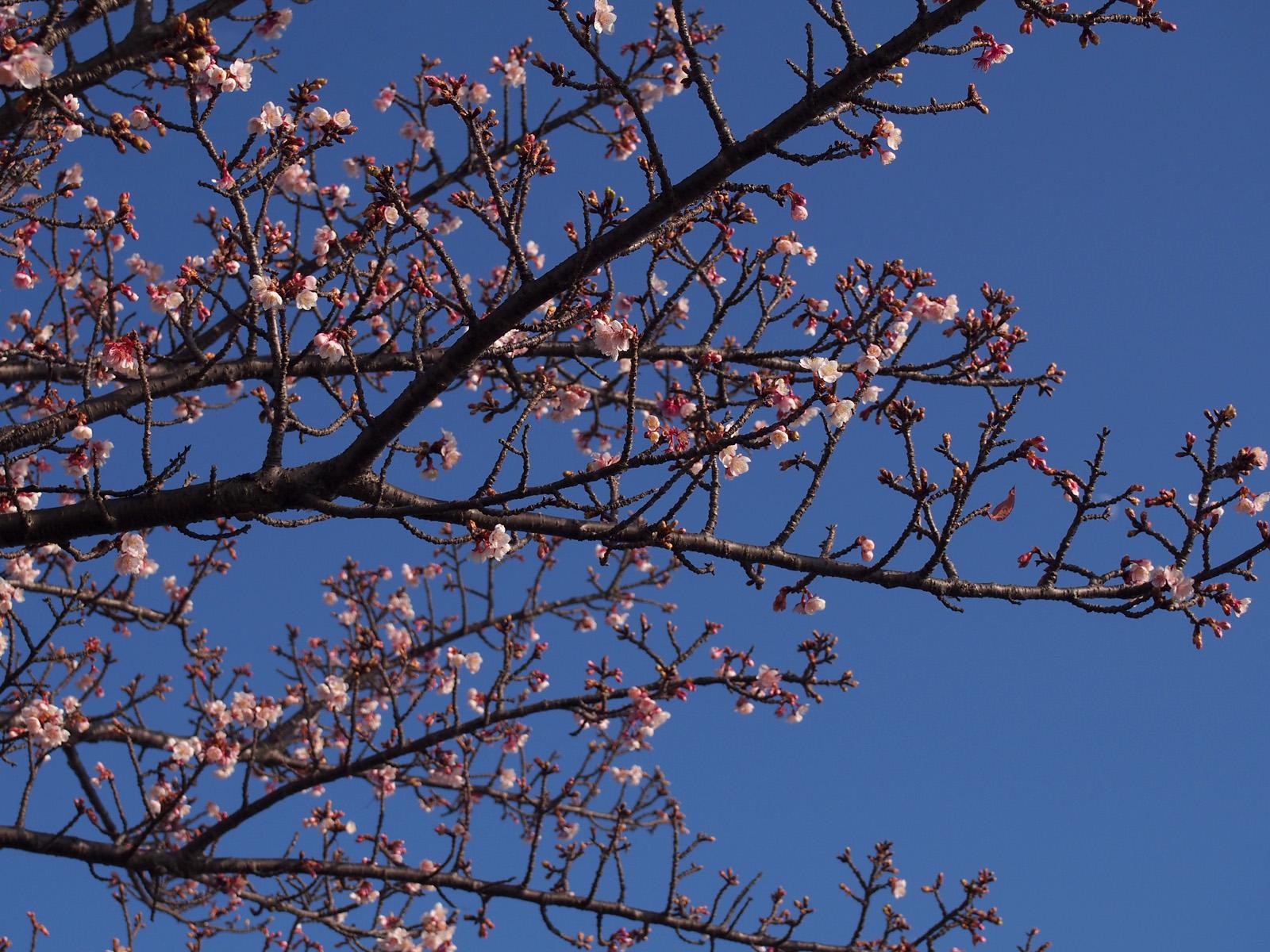早咲きの桜@朝比奈川