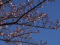 [植物][Prunus][桜]早咲きの桜@朝比奈川