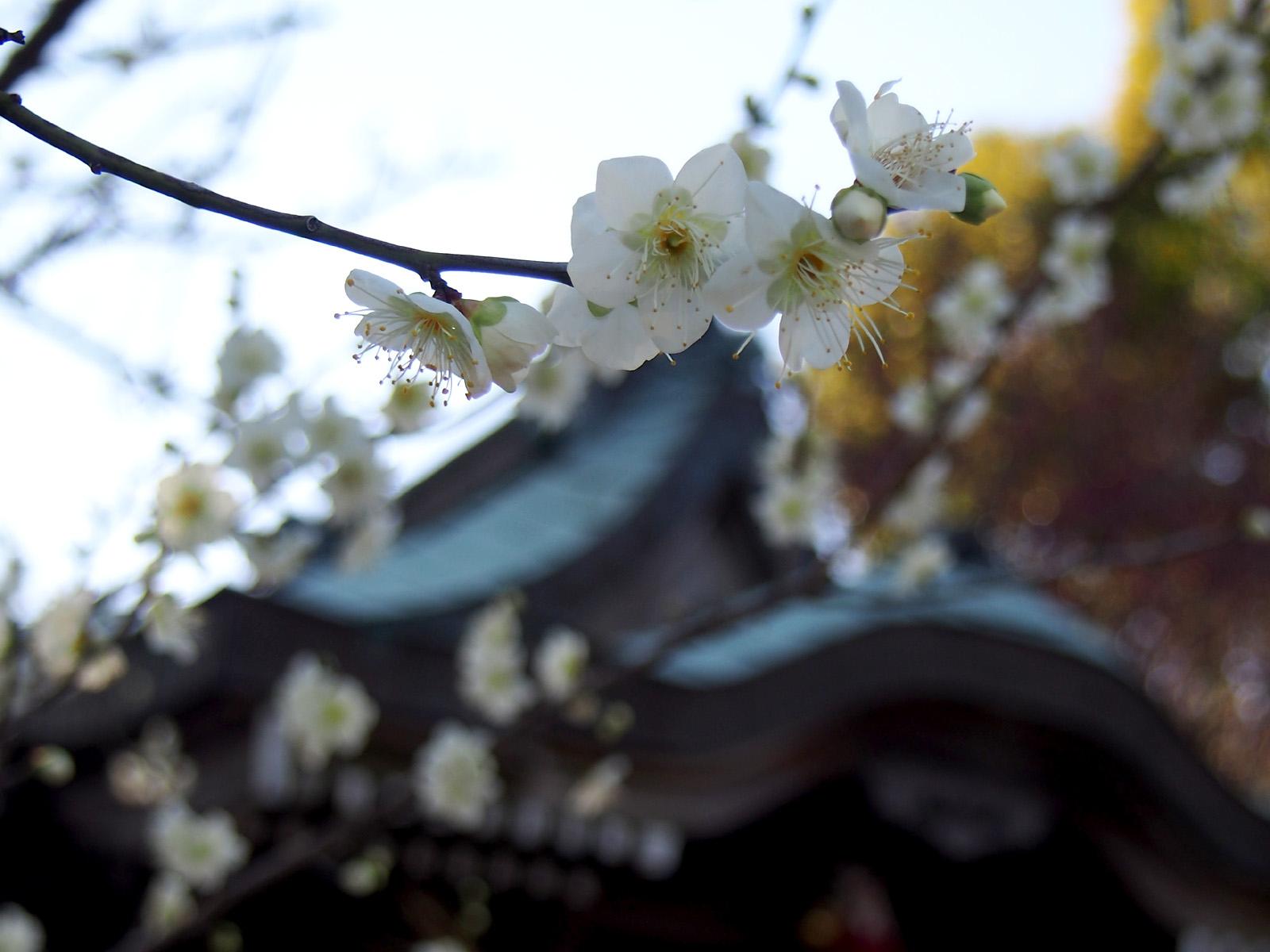 白梅@焼津神社の天神さん