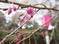 [植物][Prunus][桜]枝垂れ桜20170406