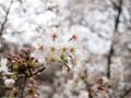 [植物][Prunus][桜]ソメイヨシノ20170406