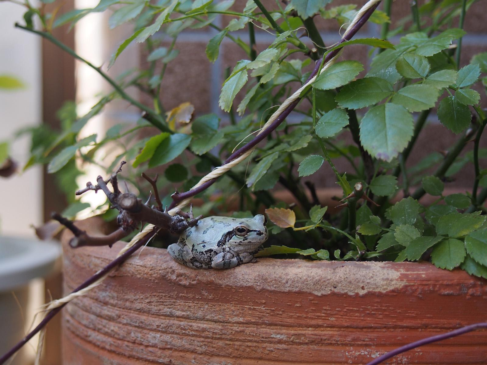 去年我が家のベランダを訪れた蛙ちゃん
