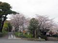 [植物][Prunus][桜][史跡]桜の島田大堤と大井川川会所