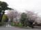 桜の島田大堤と大井川川会所