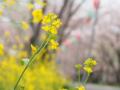 [植物][Brassica]島田大堤の菜の花