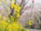 島田大堤の菜の花
