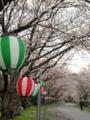 [植物][Prunus][桜]島田大堤の桜並木