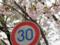 30キロ制限の桜