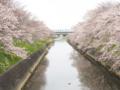 [植物][Prunus][桜]六間川・瀬戸川合流点2017/04/10
