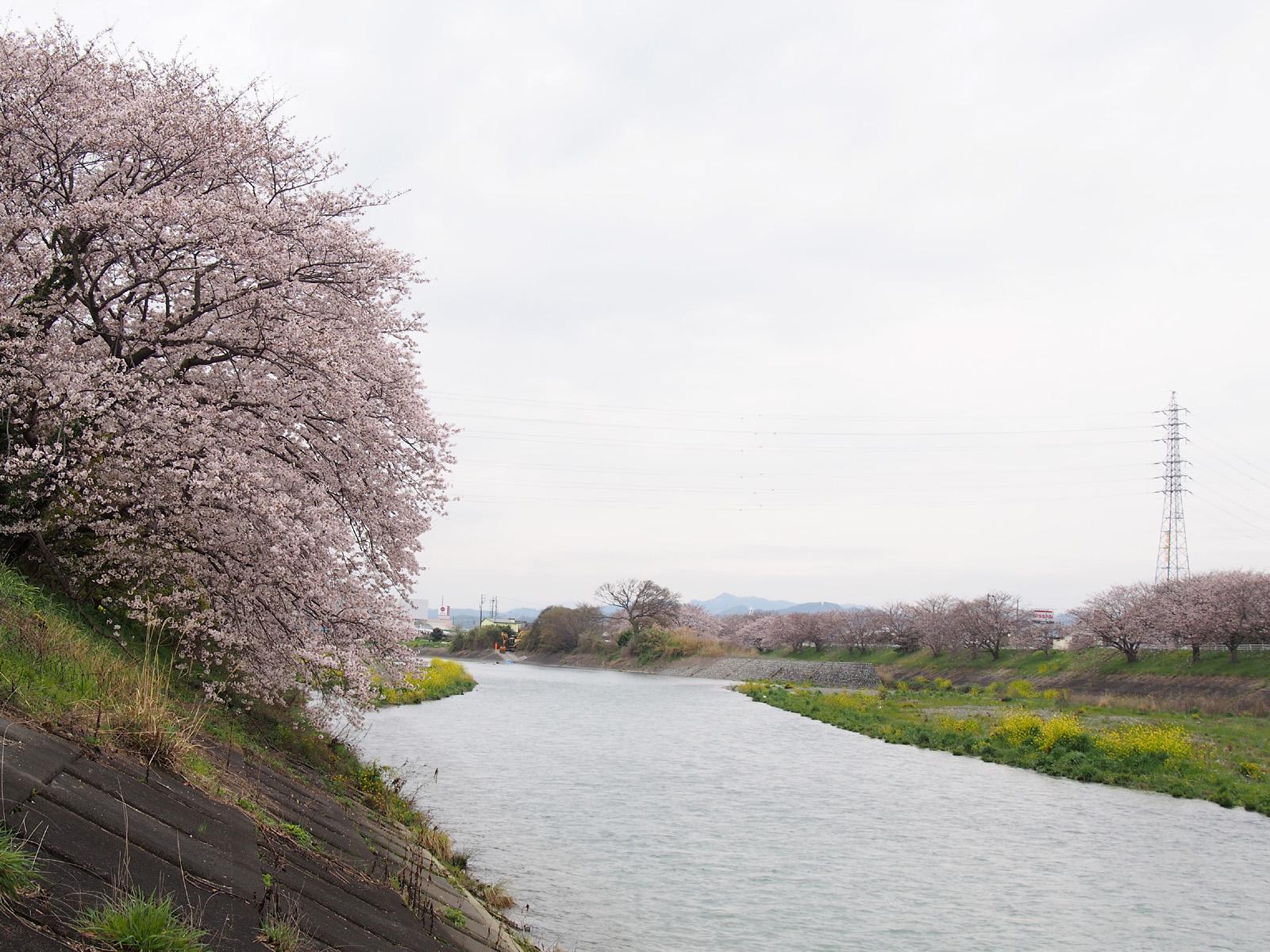 瀬戸川・牛田橋から2017/04/10