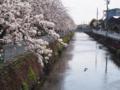[植物][Prunus][桜]鴨と小学生と