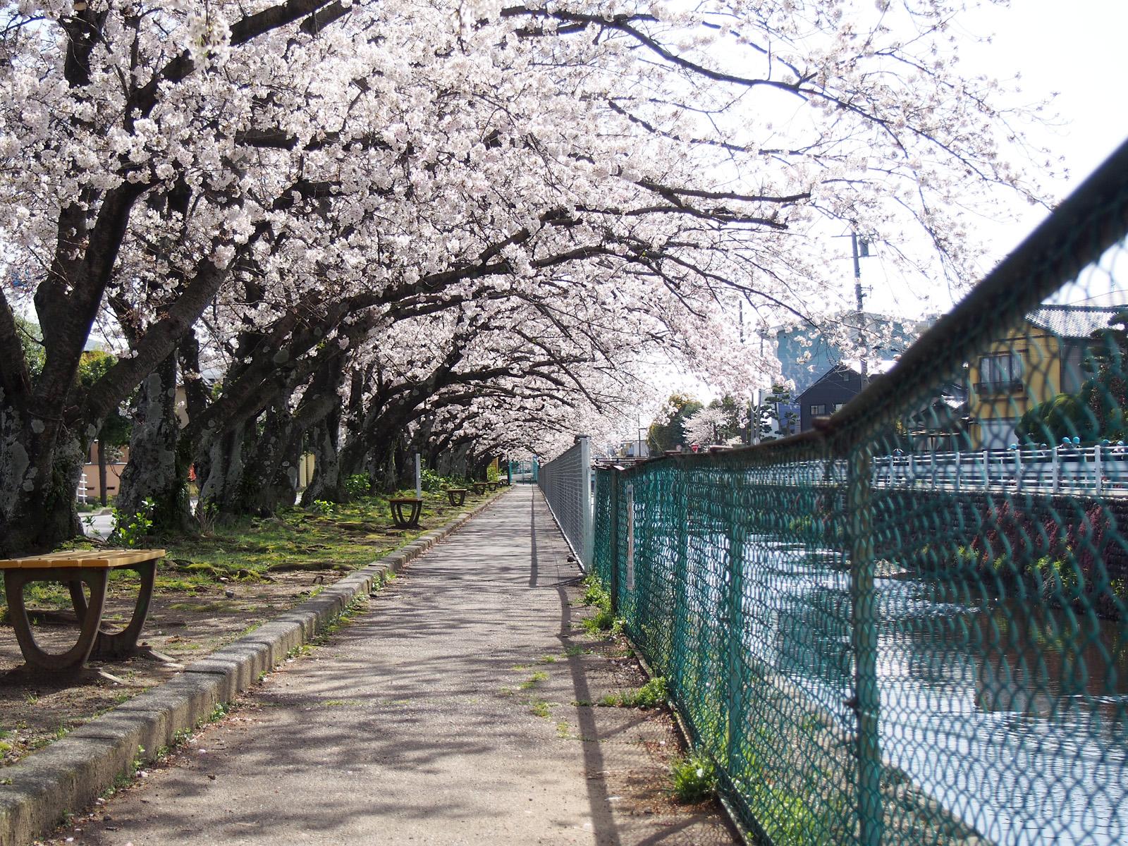 小石川堤の桜並木2017