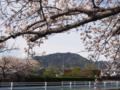 [植物][Prunus][桜]高草山