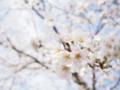 [植物][Prunus][桜]さくら