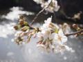 [植物][Prunus][桜]はるのひ