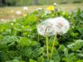 [植物]タンポポとシロツメクサ