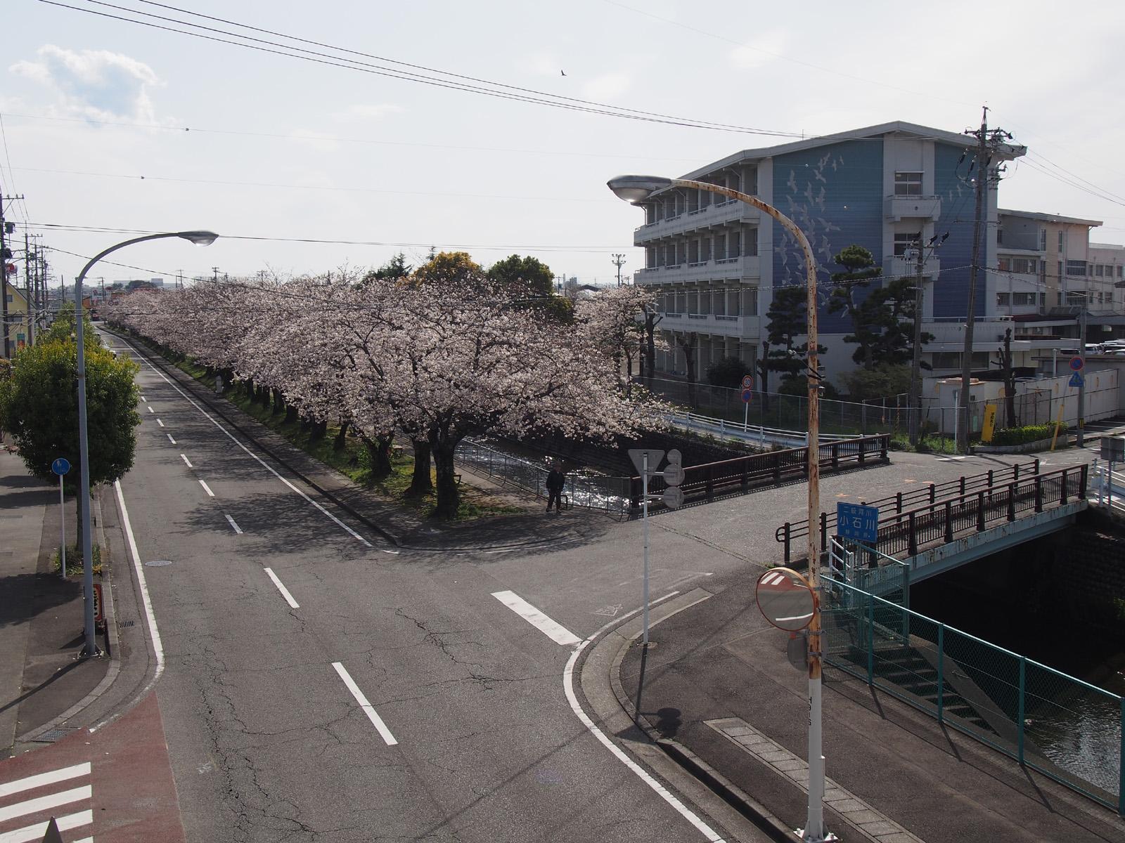 西小前の小石川堤桜並木