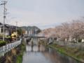 [植物][Prunus][桜]小石川の水門と桜並木