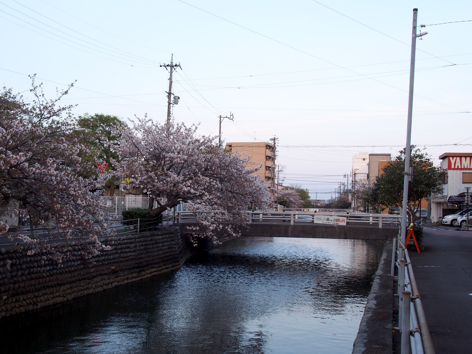 焼津駅前小石川の桜