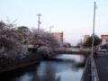 [植物][Prunus][桜]焼津駅前小石川の桜