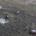 [動物][虫]苔を食う?ダンゴムシ