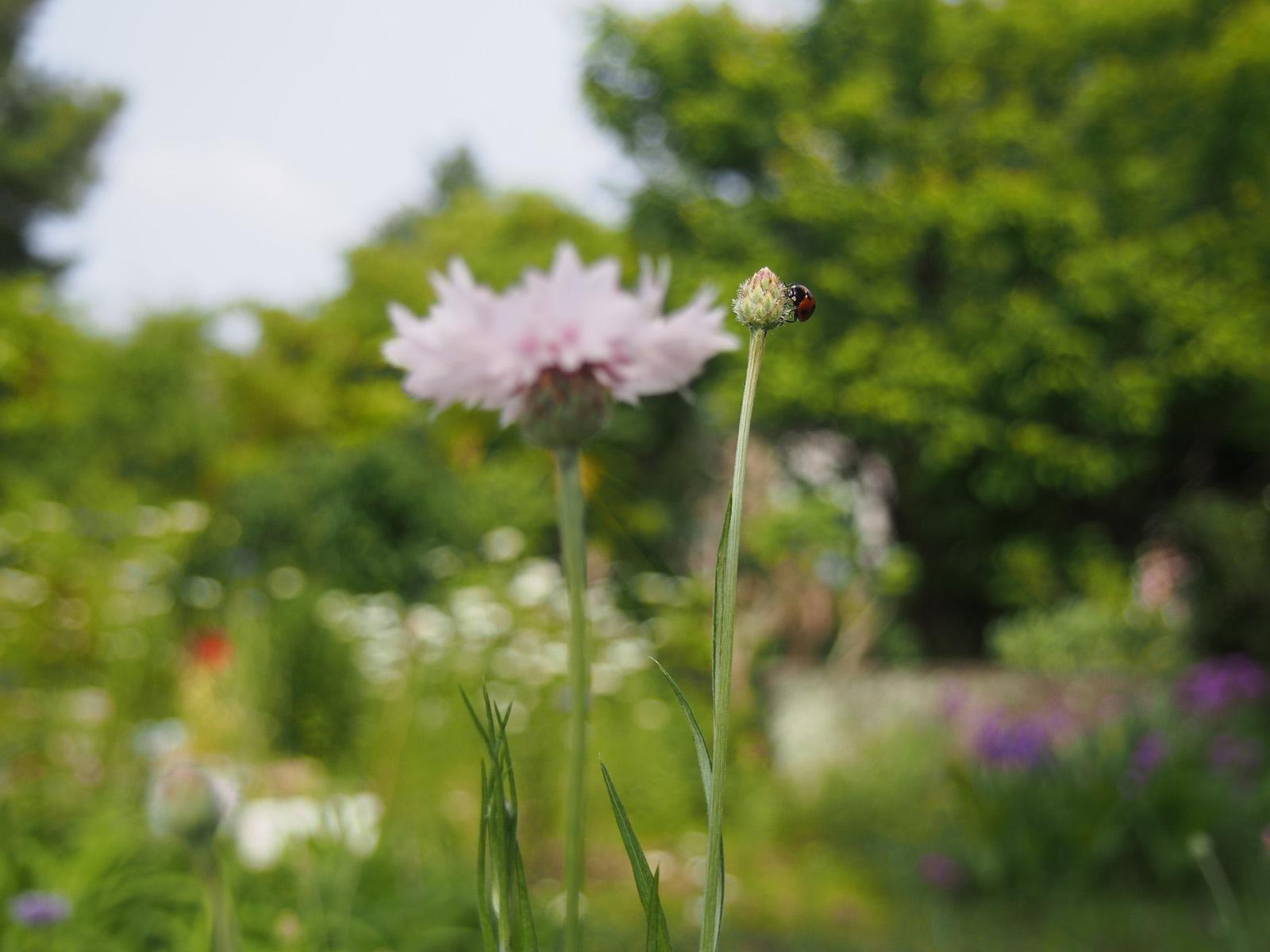 てんとう虫と矢車菊と春の庭