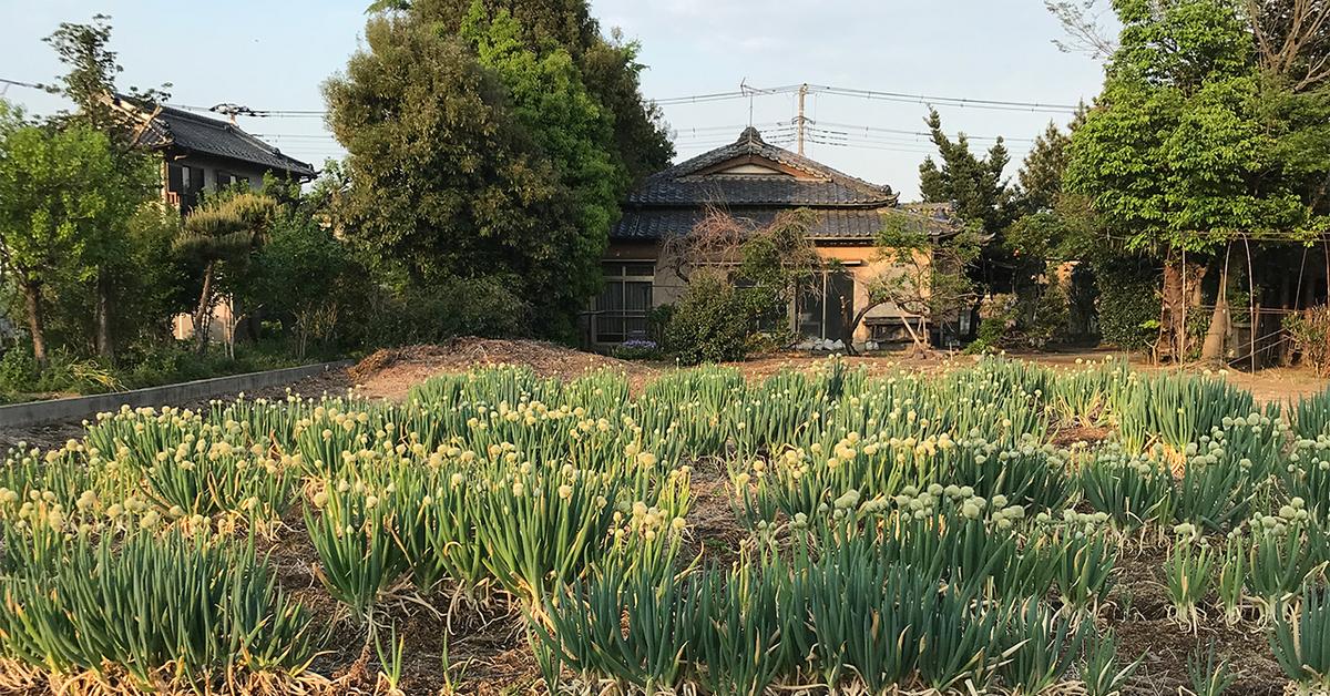 埼玉の葱畑