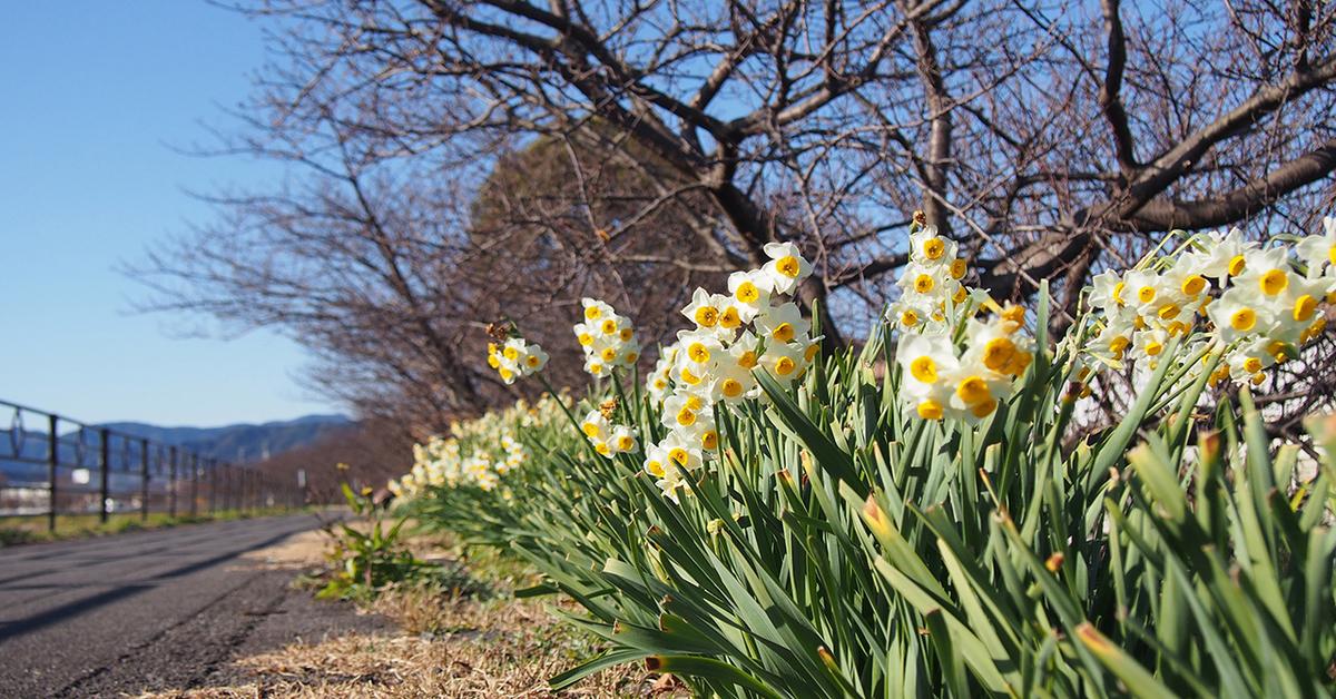 朝比奈川、山の手さくら並木の越前水仙