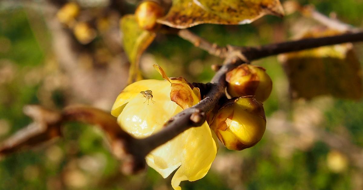 蝋梅の花の上の小蝿