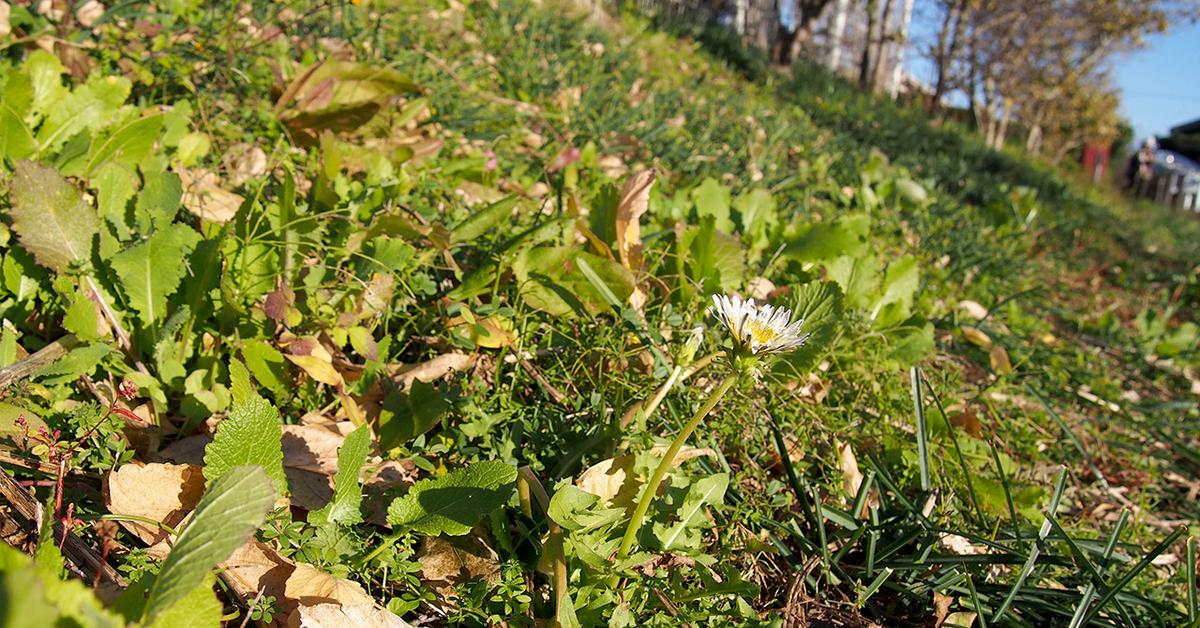 蝋梅の足元に咲く白花のタンポポ