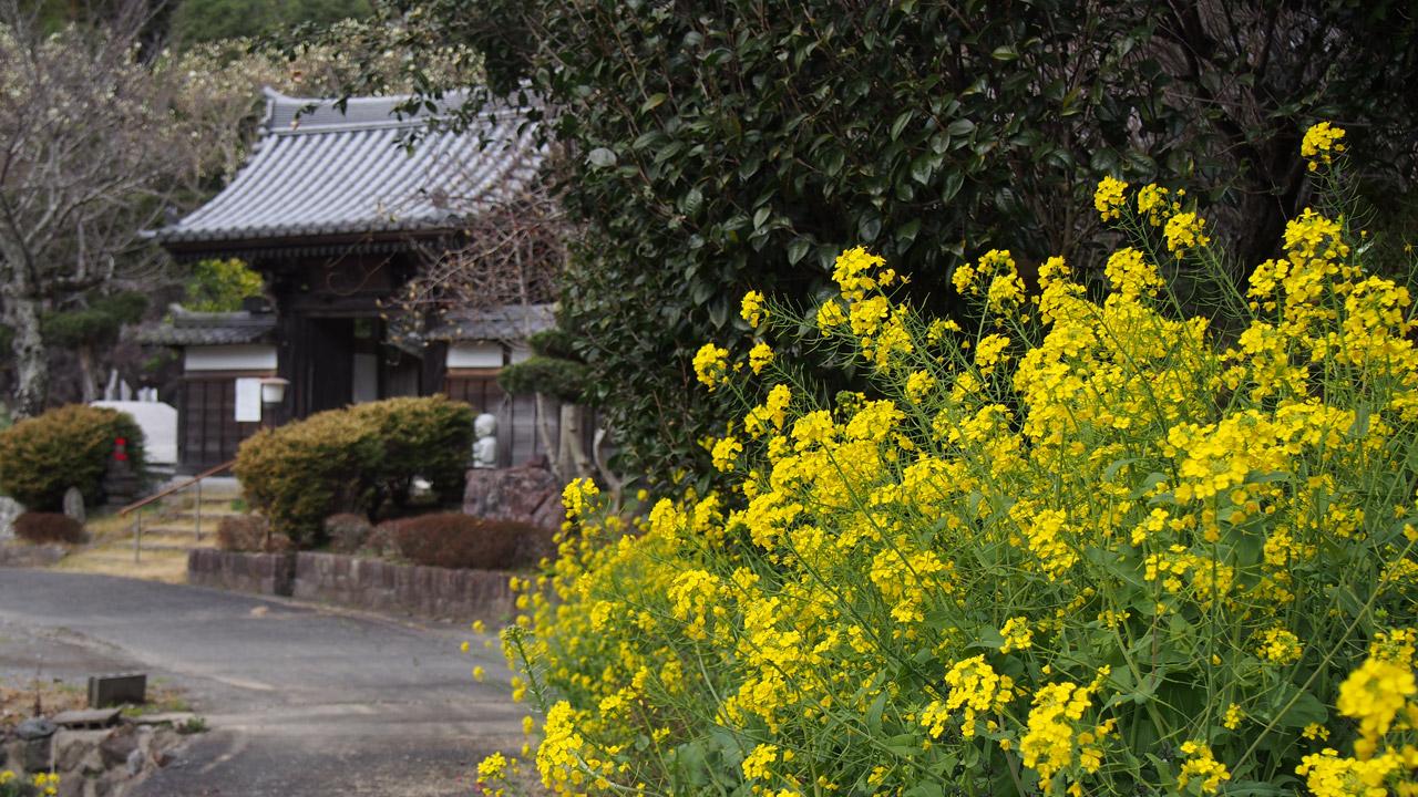 菜の花と山門