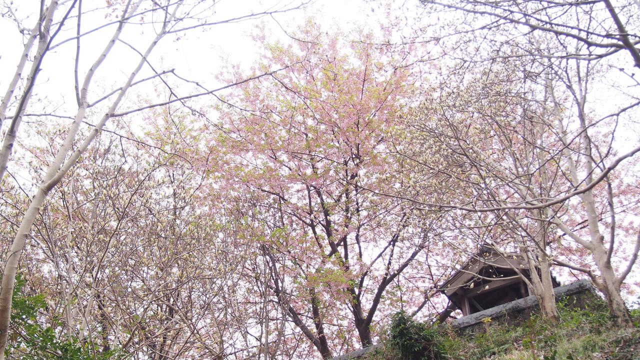 鎮守堂と河津桜