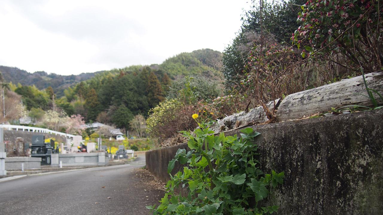 墓地脇の沈丁花とノゲシ