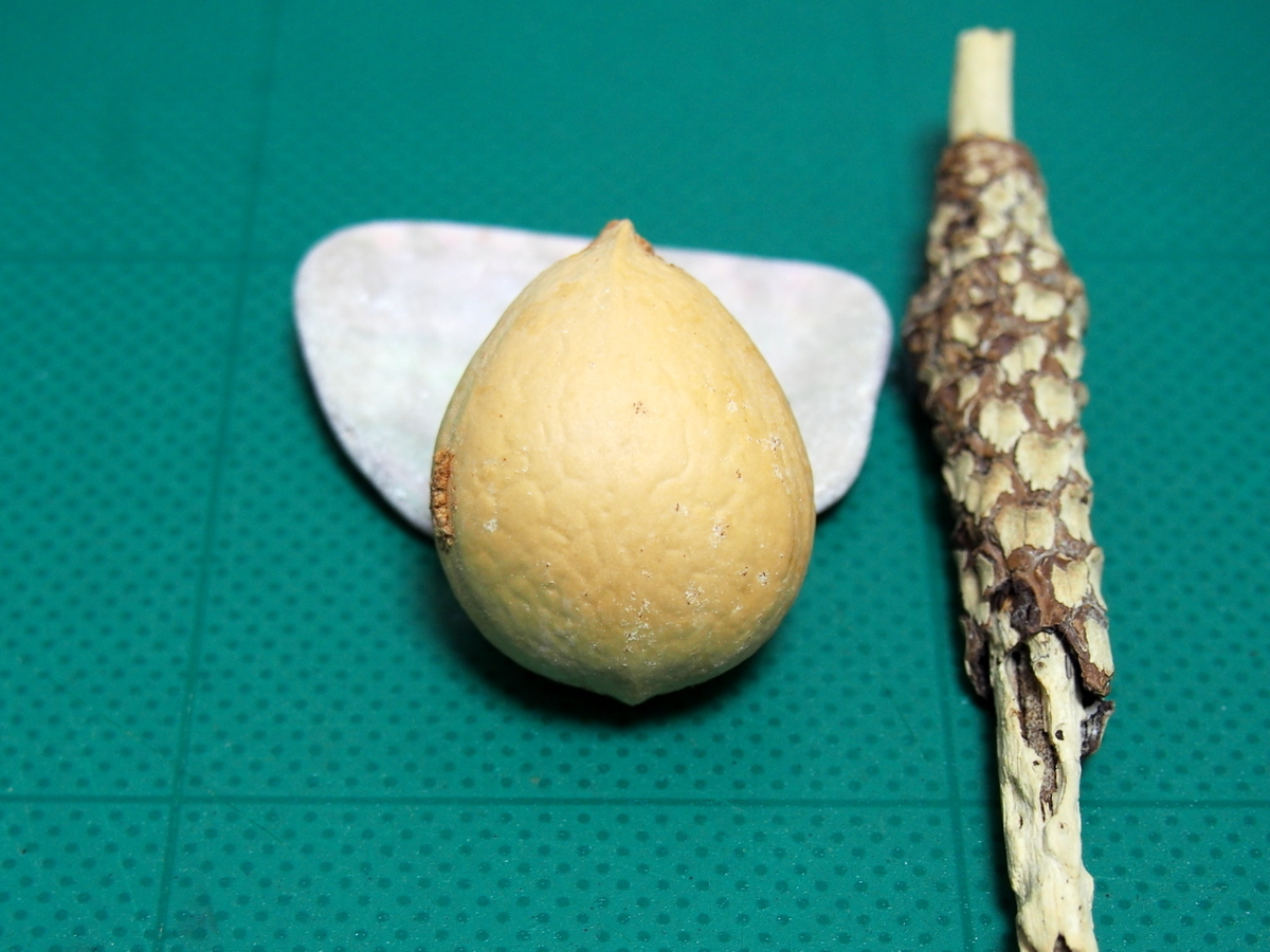 ソテツの種子