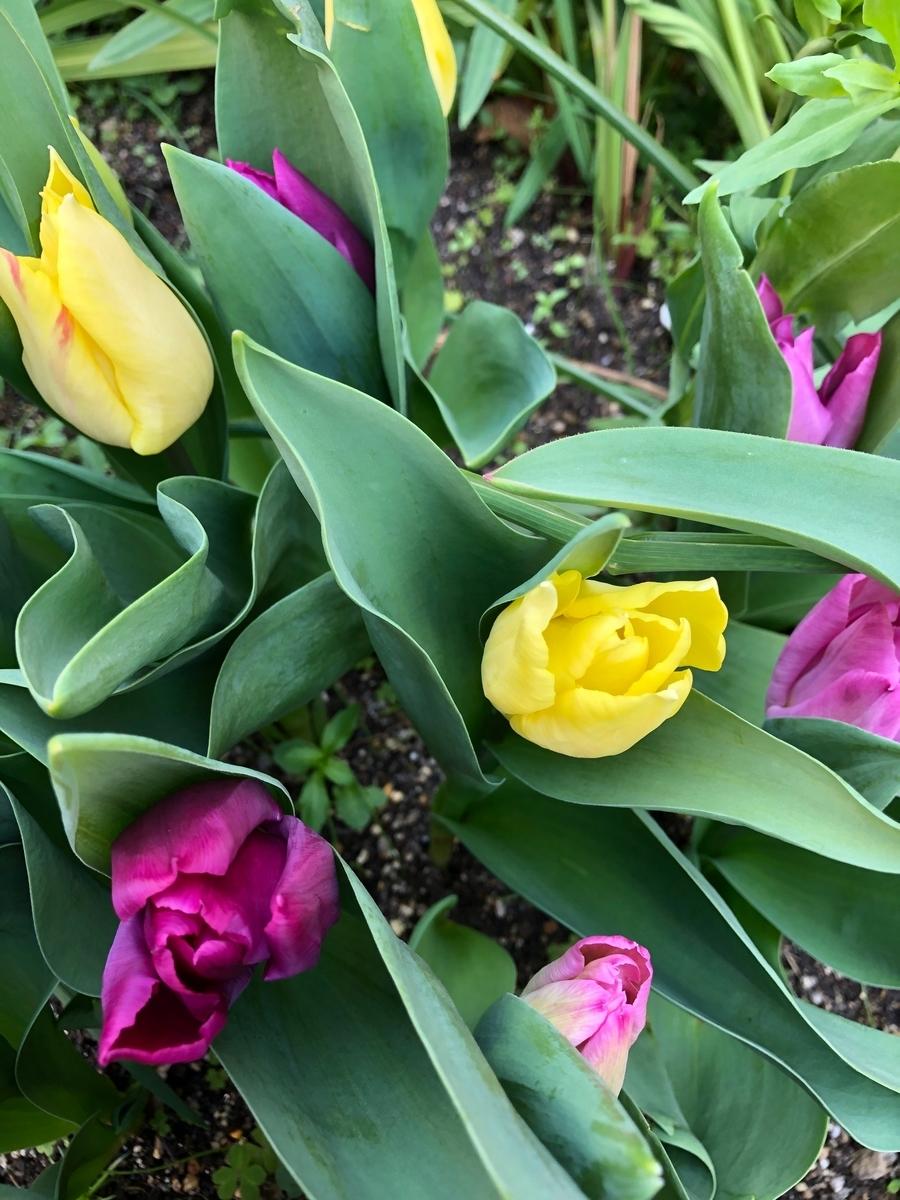 母が育てている花 チューリップ