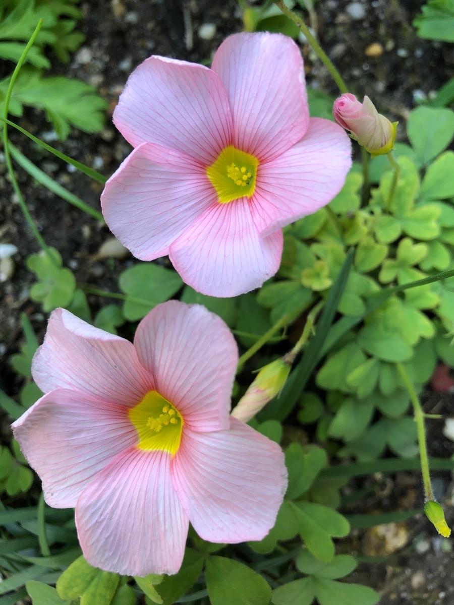 母が育てている花 オキザリス