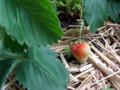 [いちご][植物][果物] ベランダのイチゴ