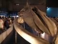 国立科学博物館 大哺乳類展-海の仲間たち- シロナガスクジラ骨格標本