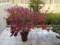 ブルーベリー(ブラッデン)の紅葉