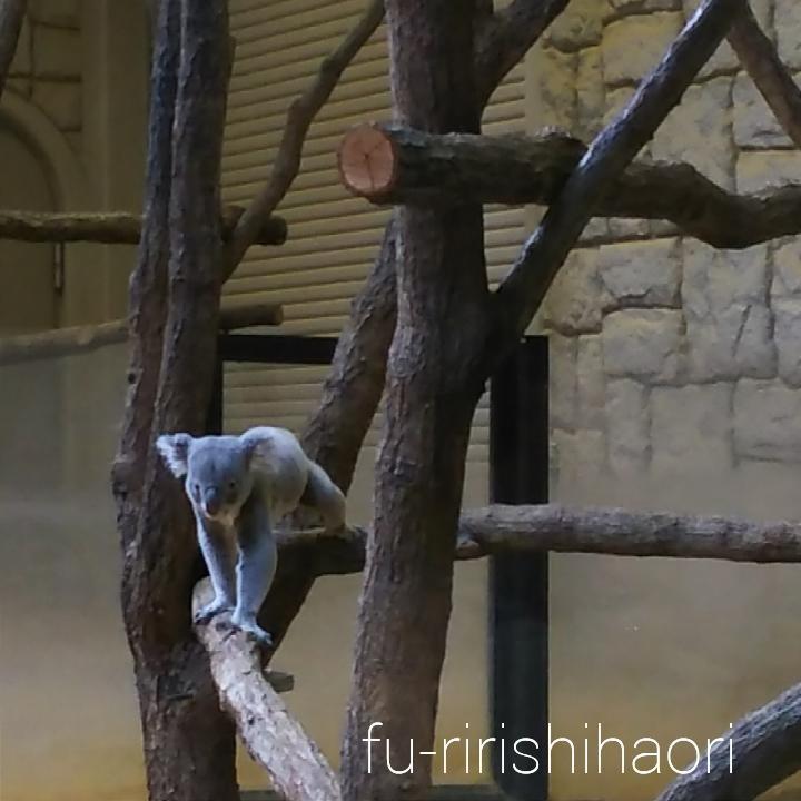 こちらを見つめているコアラ