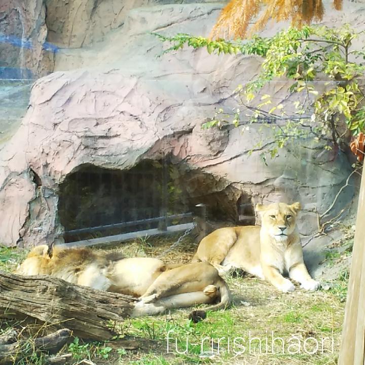 東山動植物園の、横になるオスライオンとこちらをみるメスライオン