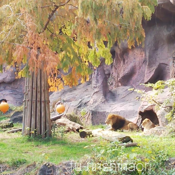 東山動植物園のオスライオン、メスライオンを遠くから見た様子