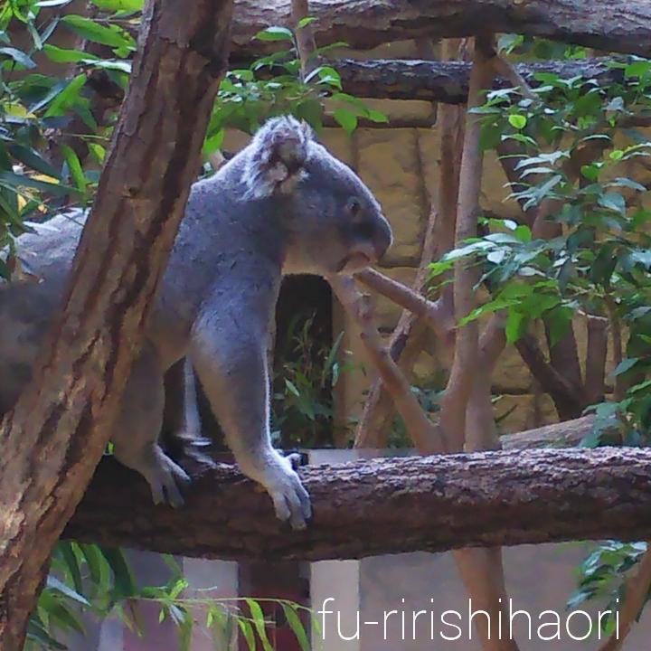 横を向いている起きているコアラ